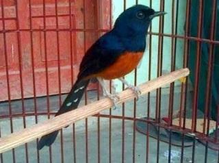 Jenis Burung Murai Batu Lasia